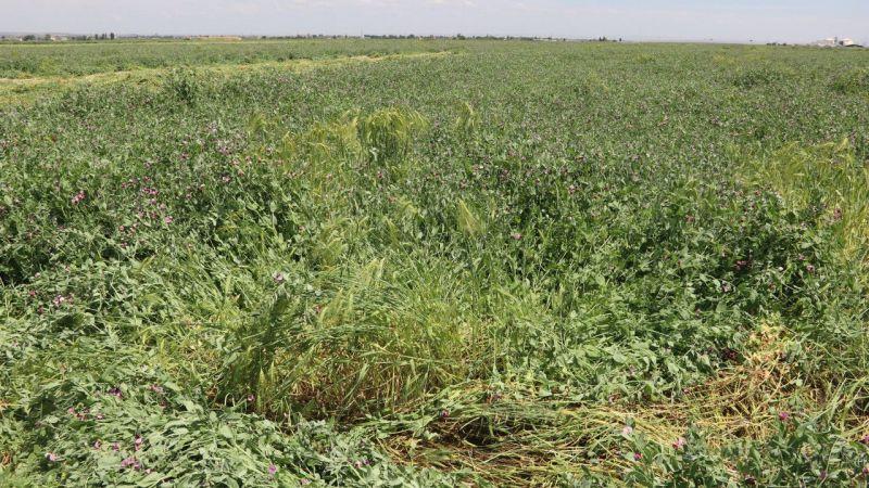 Pamuk tarlaları kaba yem üretimiyle de ekonomiye değer katıyor
