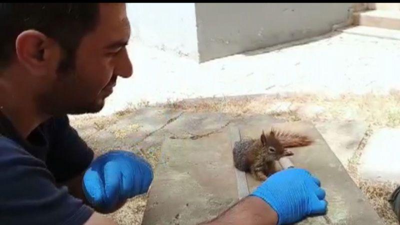 Şanlıurfa'da bitkin halde bulunan sincap tedavi altına alındı