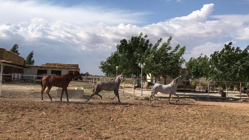Suruç'un yarış atları bölge ekonomisine katkı sağlıyor