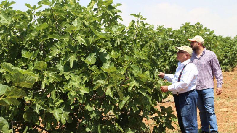 """Şanlıurfa'da incir üretimi """"ilekleme"""" yöntemiyle arttırılacak"""