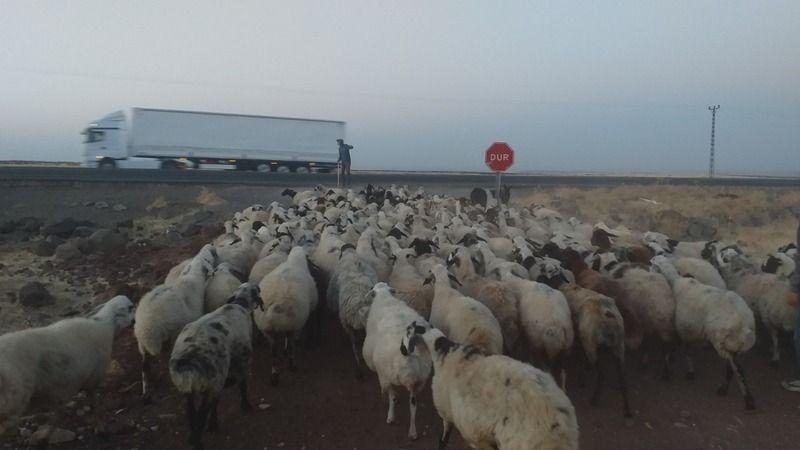 Urfa'da Her gün ölüm yolunu kullanan çobanlar alt geçit istiyor