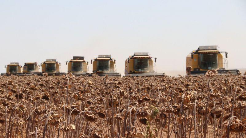 Dünyanın en büyük tarım işletmesinde ayçiçeği hasadı başladı