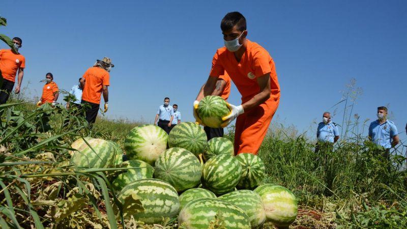 Şanlıurfa'da hükümlüler tarımsal üretime katkı sunuyor