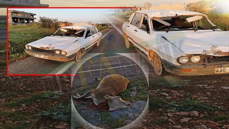 Urfa'da yola çıkan ineğe çarptı! Araç bu hale geldi
