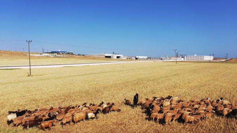 """GAP'ın başkenti"""" Şanlıurfa'da kuraklık çiftçileri endişelendiriyor"""