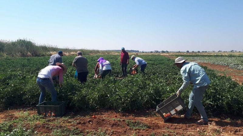 Urfa'da testten geçti: İlk hasadı yapıldı