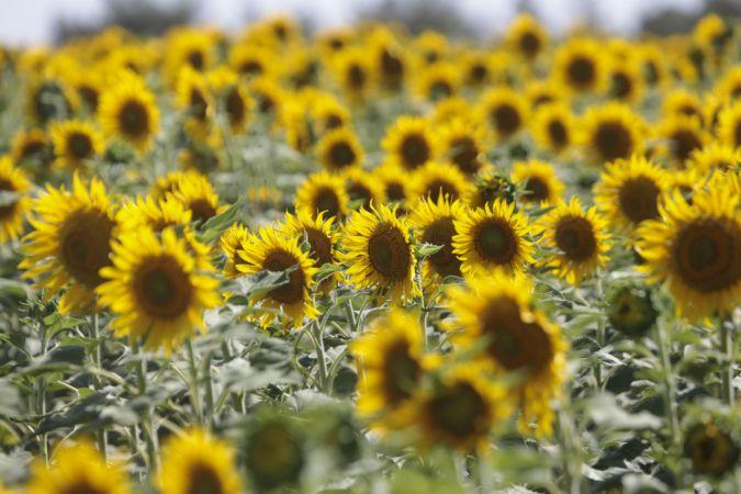 Ceylanpınar Tarım İşletmesi'nde ayçiçeğinde 18 bin ton rekolte bekleniyor