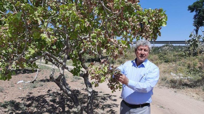 Urfa'da fıstık ağaçları kuruyor: Sulama kapsamına alınsın