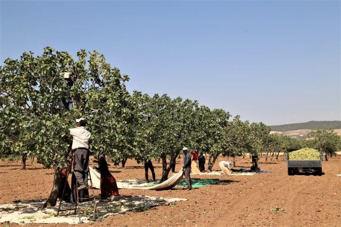 Şanlıurfa'da baklavalık fıstık hasadı başladı