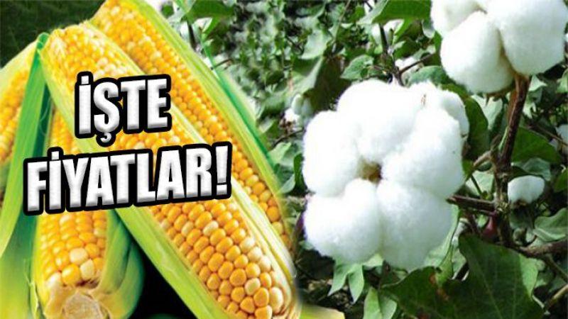Urfalı çiftçilerin dikkatine: Pamuk ve mısır fiyatları belli oldu