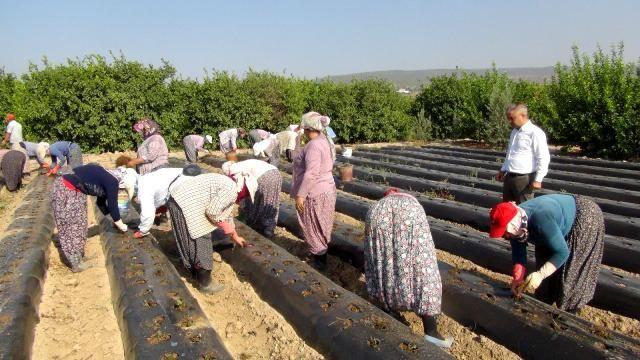 Urfalı tarım işçileri çilek fidelerini toprakla buluşturuyor