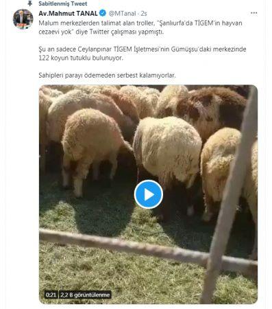 Vekil paylaştı: Şanlıurfa'da 122 koyun tutuklu!