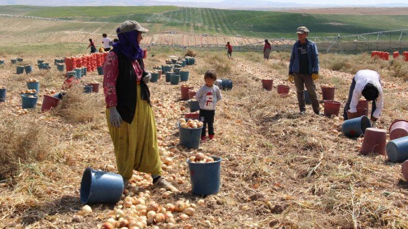 Urfalı işçiler soğan hasadına başladı, tarlalar kırmızıya büründü