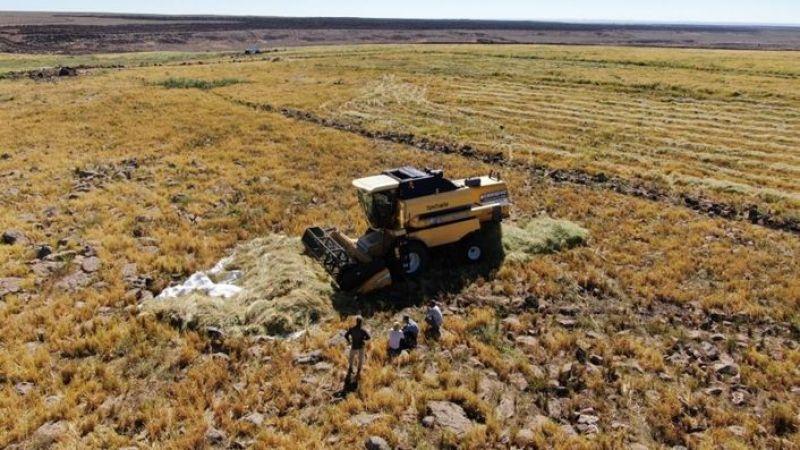 Urfa'da 6 ayda yetişiyor: Zorlu hasat başladı