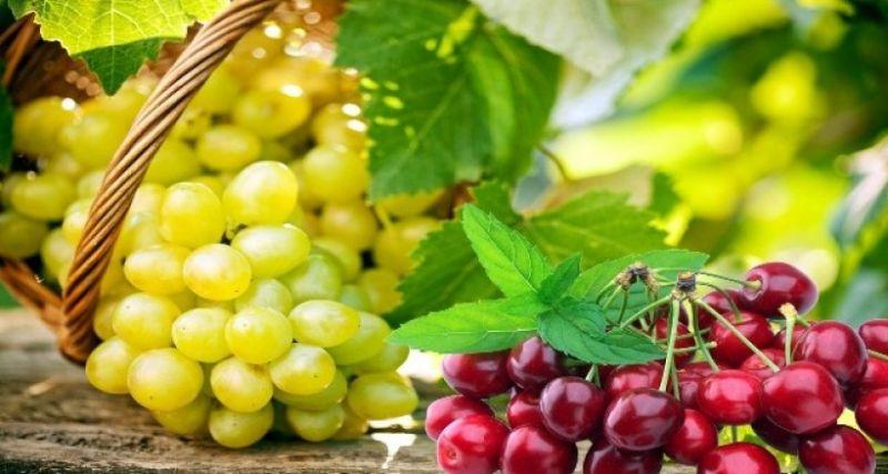 Üzüm ve kiraz ihracatçıları Güney Afrika pazarına yöneldi