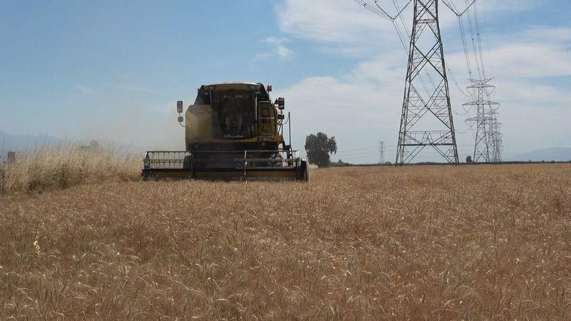 Germencik Belediyesi arazisine ektiği buğdayı hasat etti
