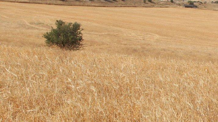 Fıkra gibi olay: DSİ, hasattan sonra su vereceğini duyurdu