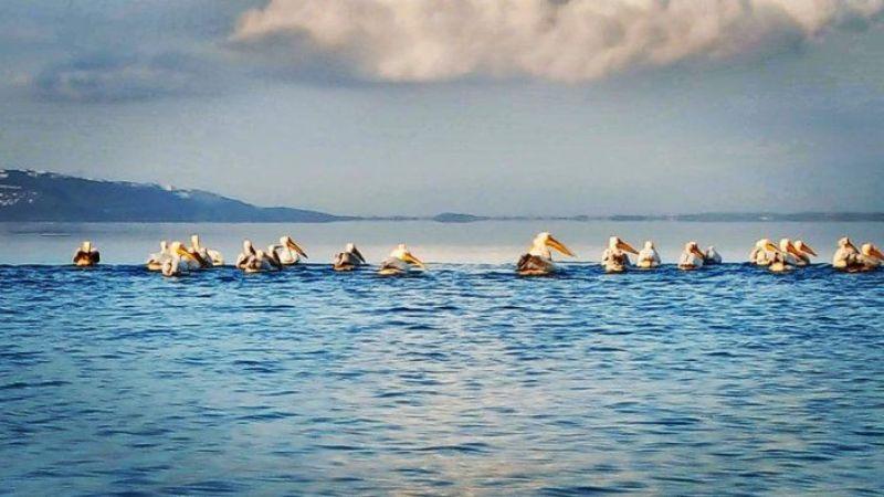 Pelikanlar Sapanca'da mola verdi