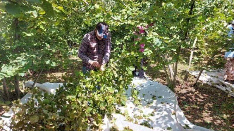 Akyazı'da fındık hasadı başladı