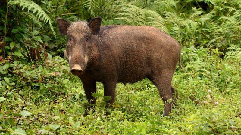 Fındık toplarken domuz saldırdı