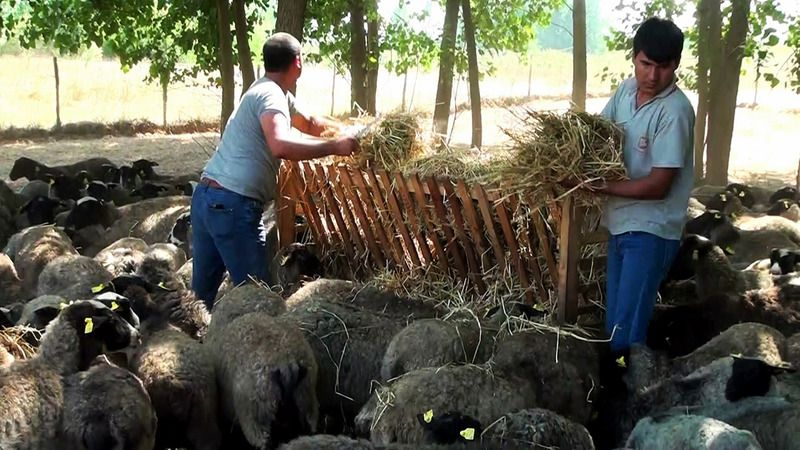 100 koyunu vardı 800'e çıktı