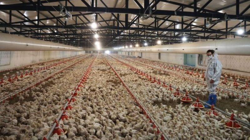 İcradan satılık tavuk çiftliği