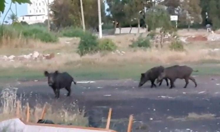 Ayvalık'ta aç kalan domuzlar kente indi