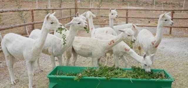 Karaman'ın koyunu out, Alpaka in
