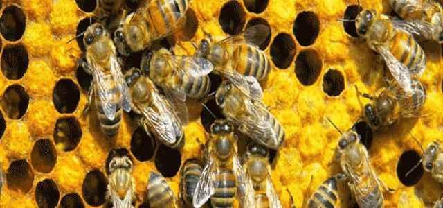 Antibiyotik yerine bal arısı