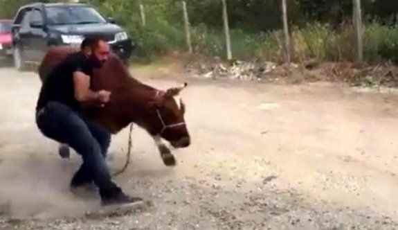 Kurbanlık ineğin kaçmasına böyle engel oldu