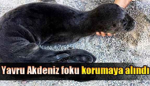 Gazipaşa'da yavru Akdeniz foku korumaya alındı