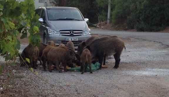 Aç kalan domuzlar şehre indi!