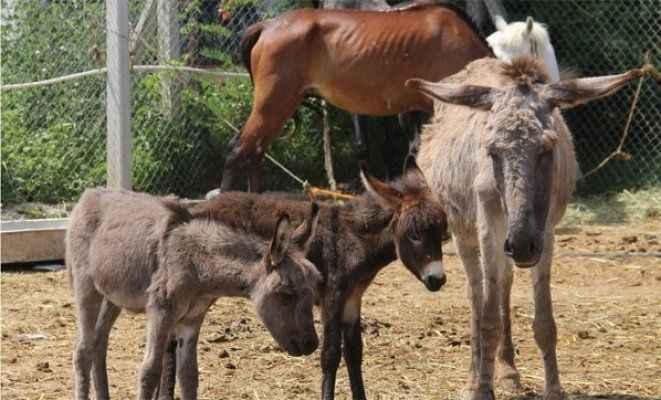Testereli at ve eşek kasaplarına baskın