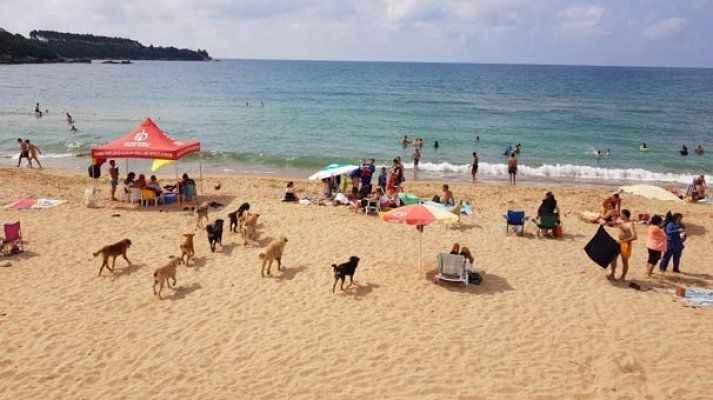 Köpekler sürü halinde plaj inince...