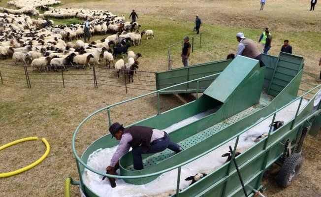 """Koyunlara """"özel banyo"""" hizmeti"""