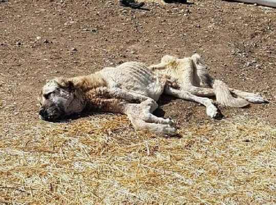Ölmek üzereyken bulunan köpek kan nakli ile hayata döndü
