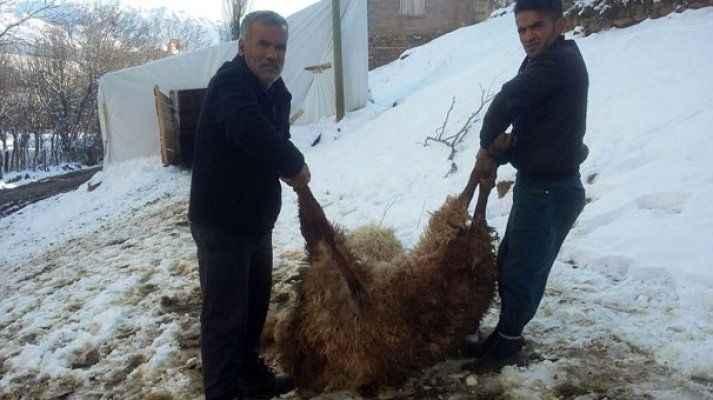 Şoke eden olay! 200 koyun samandan zehirlendi!