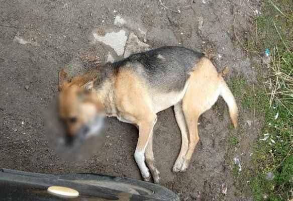 Çok sayıda köpek zehirlenerek öldürüldü