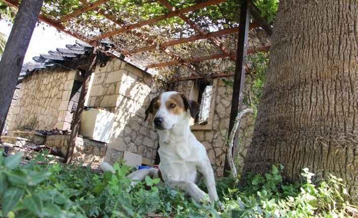Orman yangınında küle dönen lüks villanın köpekleri villayı terk etmedi