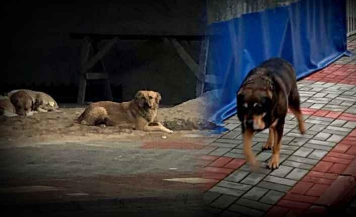 Konaklı'yı köpekler bastı