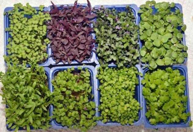 Mikro ürünlerin 10 gramı, 15-20 kilo normal sebzedeki vitamine eş değer