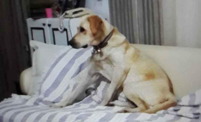 Alanya'da kayıp köpek aranıyor!