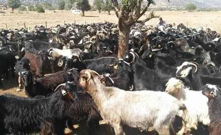 Antalya'da Honamlı keçisi koruma altında