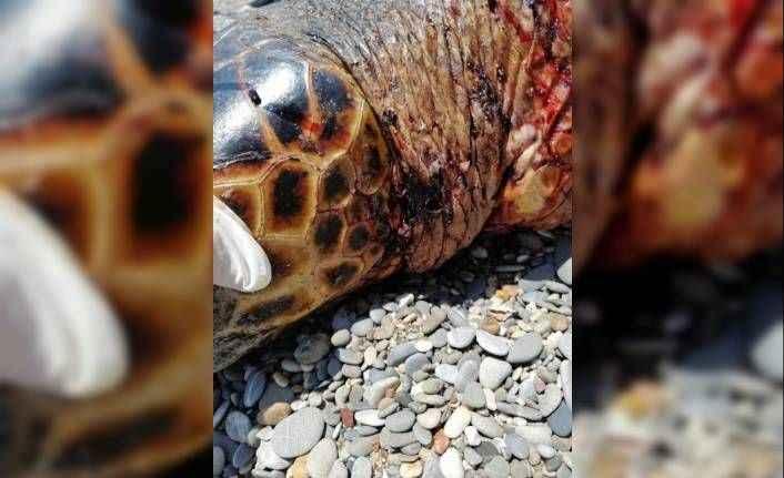 Antalya'da bu kez de bıçakla öldürülmüş caretta caretta bulundu