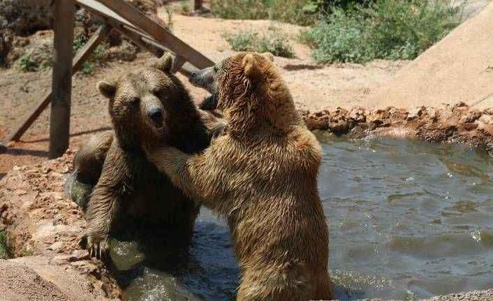 Antalya'da ayıların sıcak havada havuz keyfi