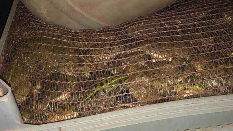 Akılalmaz olay! Otomobilde 3 bin kurbağa ele geçirildi
