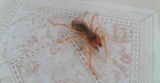 Yayla evinde görülen örümcek korkuttu!