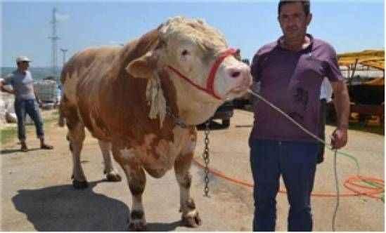 'İnegöl'ün Aslan'ı satıldı! 1.5 ton ağırlığında, 29 bin TL...