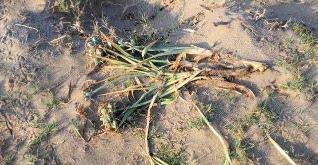 Alanya'da kum zambaklarını köklediler