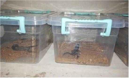 Evin bodrumunda 217 canlı akrep ele geçirildi